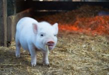 """The brain cells of dead pigs have been """"reactivated"""". But what does it mean?"""