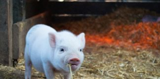 "The brain cells of dead pigs have been ""reactivated"". But what does it mean?"