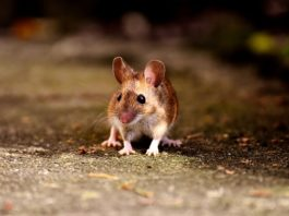 A substance from young blood created the effect of starvation in mice