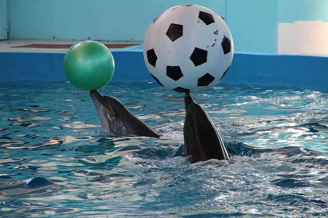 Bottlenose dolphins helped each other get toys