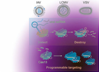 CRISPR etched on RNA viruses in human cells