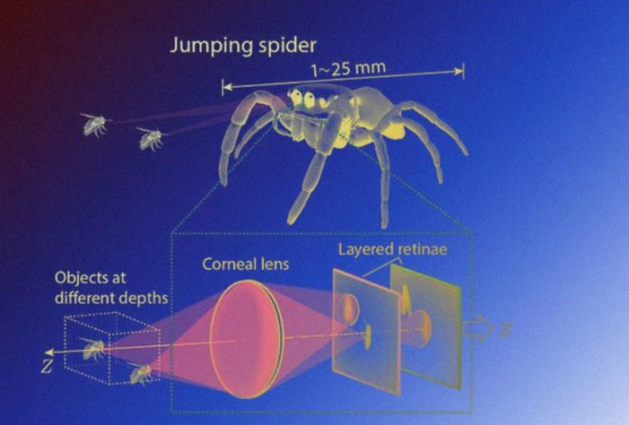 The eyes of horse spiders helped develop a compact depth sensor