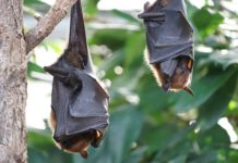Bats turned out to be independent of their microbes