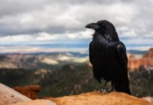 How sociable black crows protect themselves from parasites?
