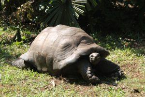 Scientists find the underestimated behavior of Giant land turtles