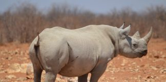 Scientists introduced a new recipe for creating an artificial rhino horn