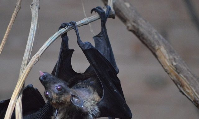 Traces of Ebola viruses found in the blood of Indian bat hunters