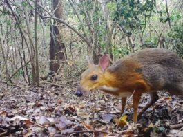 Zoologists rediscovered Vietnamese deer