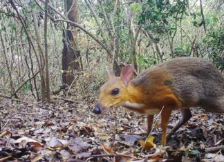 Zoologists rediscovered Vietnamese deer