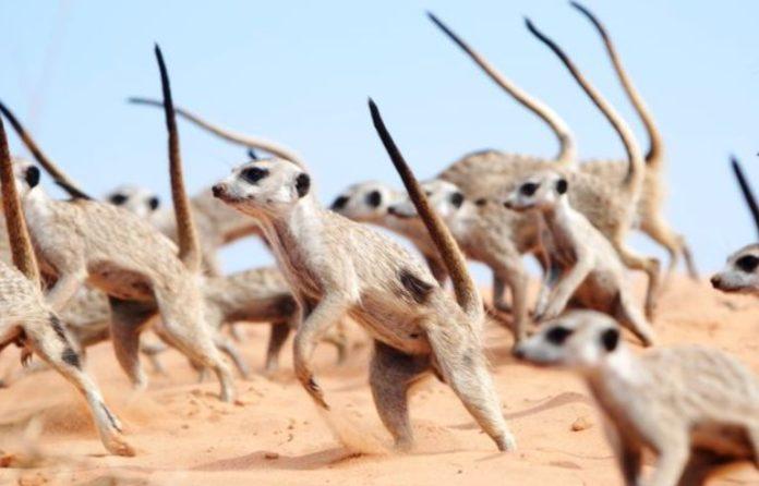 'Battle Dance' proved to be the most effective weapon of Meerkats
