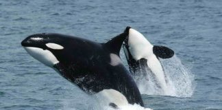 Biologists confirm the 'grandmother hypothesis' in killer whales