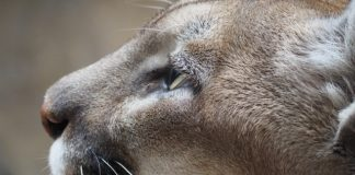 Californian cougars turn out to have three times more mercury than mainland