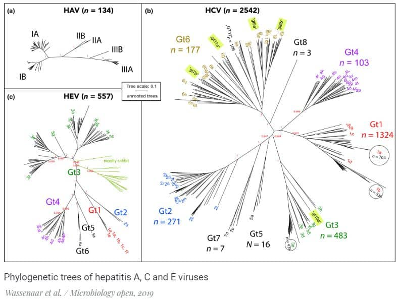 Phylogenetic trees of hepatitis A, C, and E viruses