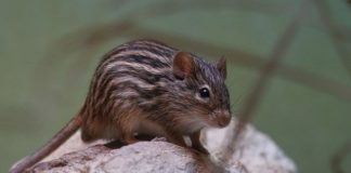 The change of season does not affect the attention and reaction rate of striped mice