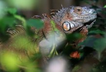 Meteorologists warn of possible rain of iguanas in Florida