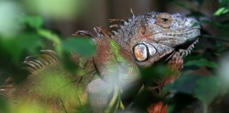 Meteorologists warn of possible rain of iguanas in Florida