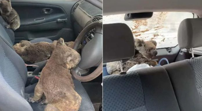 Two teenagers turn their car into an ambulance for koalas