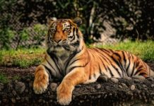 Coronavirus affects big cats: an infected tiger from a New York zoo