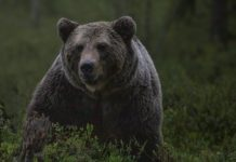 Bear attacks on humans on the rise in Japan