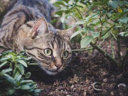When you're cunning, even poison can't stop you: a wildcat hunts a rattlesnake