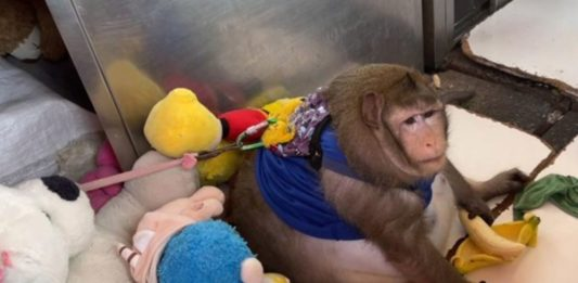 The fat monkey was sent to the weight loss camp
